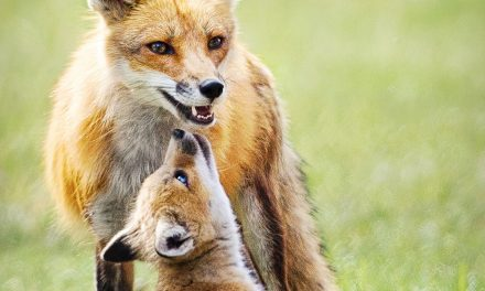 How a Family of Foxes Got me Through the Corona Pandemic by Jill Wellington