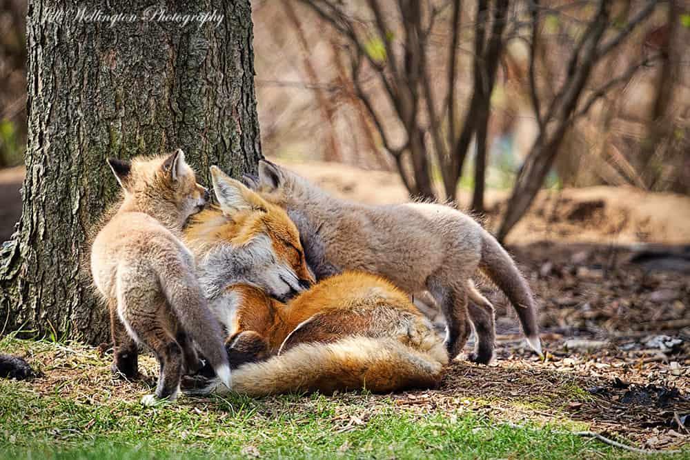Foxy Family by Jill Wellington