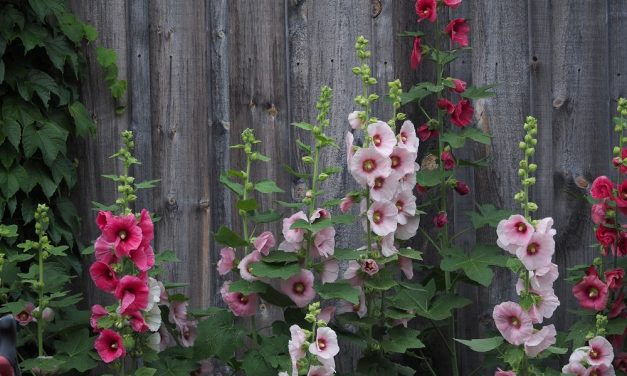 Hollyhock Ladies by Bernie Brown